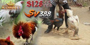 Sv388 Sabung Ayam